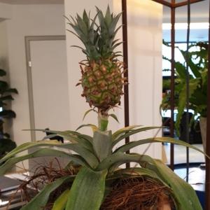 Unsere siamesische Ananas